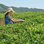 Хостинская чайная фабрика. Сбор чая